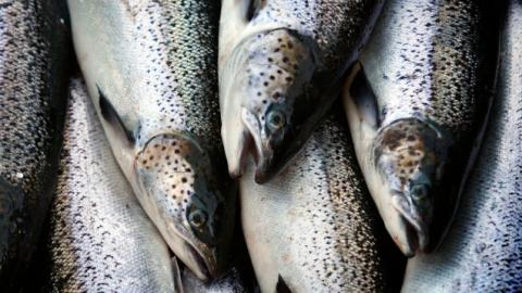 FDA Lifts Import Ban on Genetically Modified Salmon That Reach Market Twice as Fast
