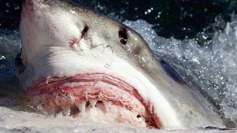 Great White Sharks Appear Perfectly Healthy Despite Lead, Arsenic, and Mercury Coursing Through Their Veins
