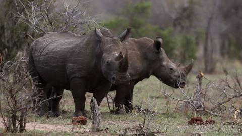 Rhino Poacher in South Africa Reportedly Killed By Elephant, Then Eaten By Lions