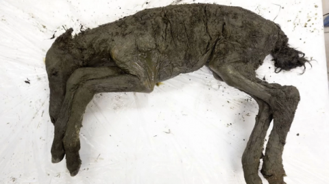 Liquid Blood Extracted From 42,000-Year-Old Foal Found Frozen in Siberia