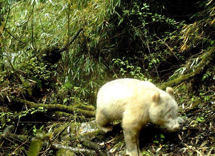 20190530-albino-panda-china-01.jpg