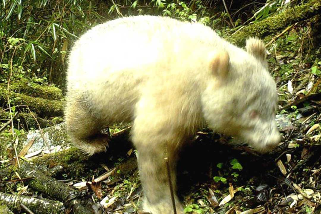 These Breathtaking Photos Are The First Known Sighting of an Albino Giant Panda